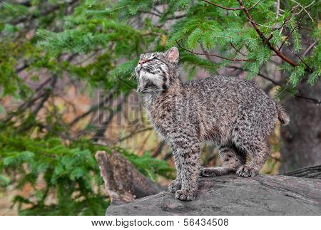 Bobcat Kitten (Lynx rufus) Looks Up From Log