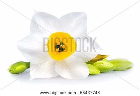 White Flower on White Background Isolated, Daffodil