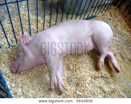 Albino Pig