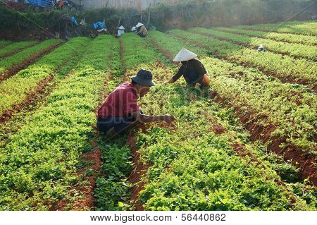Vietnamese Farmer Working On Carrot Field