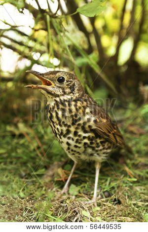 Speckled bird thrush .