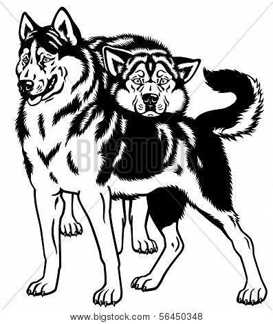 Zwei Siberian Husky Hunde schwarz KB