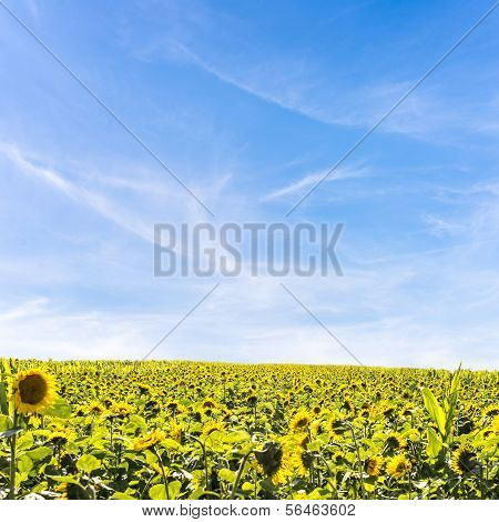 Field, Of Sunflowers In Summer Sunlight