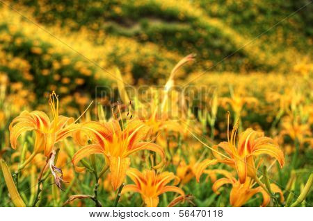 Daylily flower at sixty Stone Mountain in Taiwan