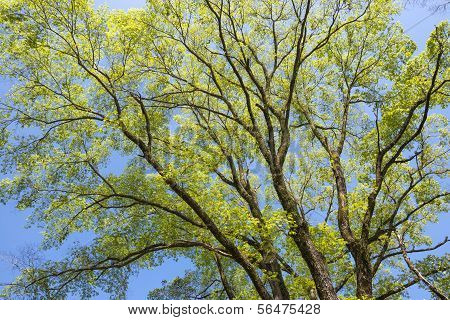 Elm green branches