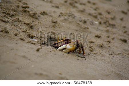 Fiddler Crab Hiding