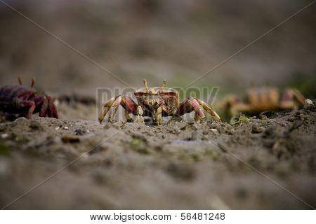 Marsh Fiddler Crab