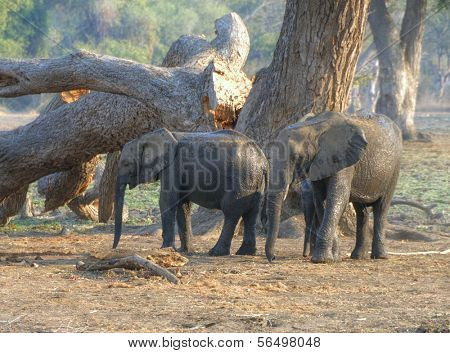 Elephant calves walking in South Luangwa National Park, Zambia, Africa