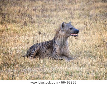 Hyena in South Luangwa National Park, Zambia, Africa