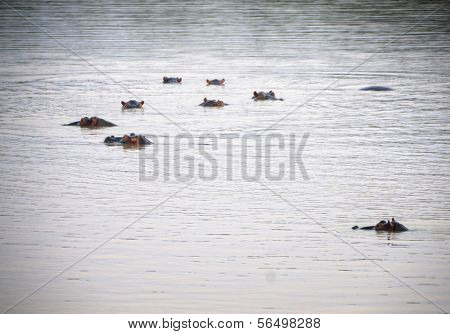 Hippos swimming in South Luangwa National Park, Zambia, Africa
