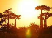 Silhouettes of baobabs over sunrise sky. Madagascar