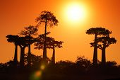 picture of baobab  - Silhouettes of baobabs over sunrise sky - JPG