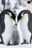 Постер, плакат: Императорские пингвины aptenodytes котик