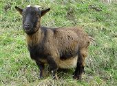 pic of billy goat  - Goat image of a goat looking straight ahead in a meadow