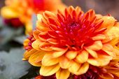 pic of naturalist  - Gerbera is a genus of ornamental plants from the sunflower family  - JPG