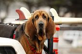 stock photo of bull-riding  - Portrait of Red dog Bloodhound in car - JPG