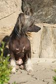 Fantastic Chinese Crested Dog In Front Of Wall