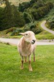 Постер, плакат: Постоянный овец