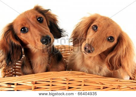 Two dachshund puppies in a basket. I asked them if they wanted a treat, and these are the faces they gave me.