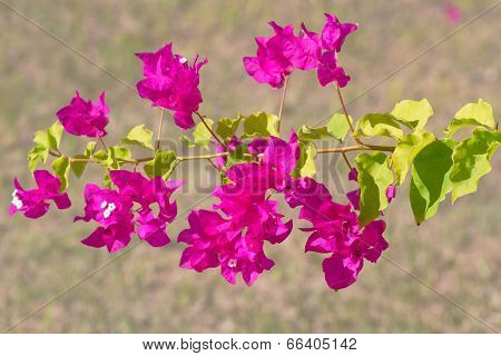 Pink Blooming Flower.