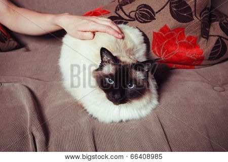 Cat Being Petted On Sofa
