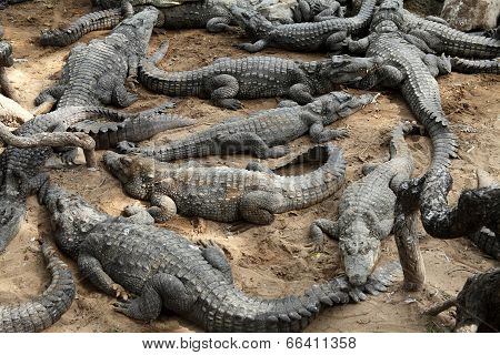 Group Of Crocodiles In The Zoo Park