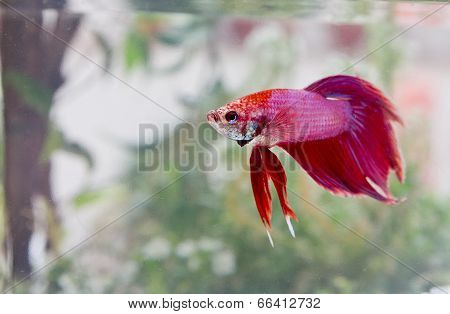 Exotic Beta Fish