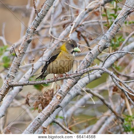 Evening Grosbeak On A Branch