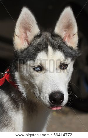 Female Husky Puppy With Colored Eyes Closeup