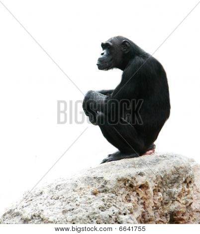 Chimp Sitting On Rock, Isolated Over White