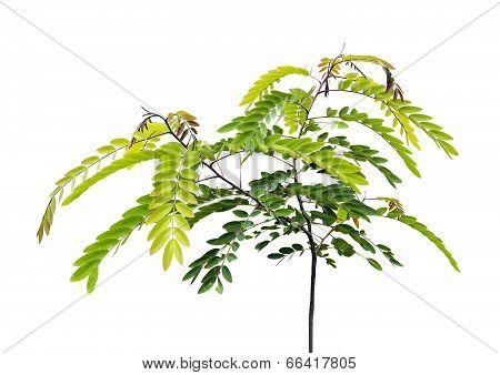 Young Senna Siamea Lam Tree