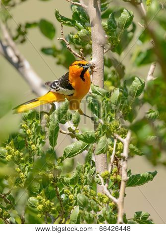 Bullock's Oriole In Mulberry Tree