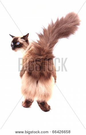 Ragdoll Cat Isolated