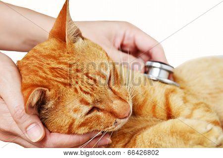 Veterinarian Examining A Kitten