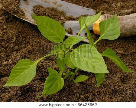 pepper seedling and small shovel on vegetable bed