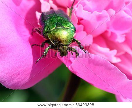 chafer beetle on peony flower macro - Cetonia aurata