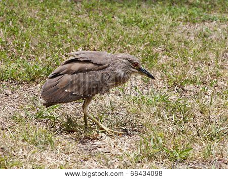 Baby Birds, Chick Night Heron