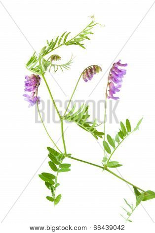 Vetch Isolated On White