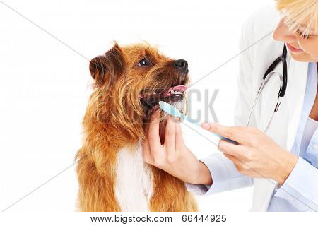 A picture of a vet brushing dog's teeth