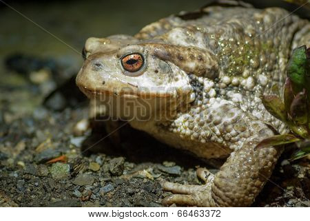 Common Toad at night