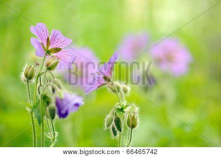 Purple Geranium Pretense (meadow Cranesbill) Flowers In The Meadow