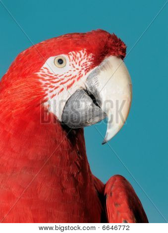 Green-winged macaw (parrot) portrait