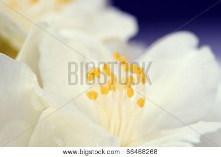 White Jasmine Flower Macro