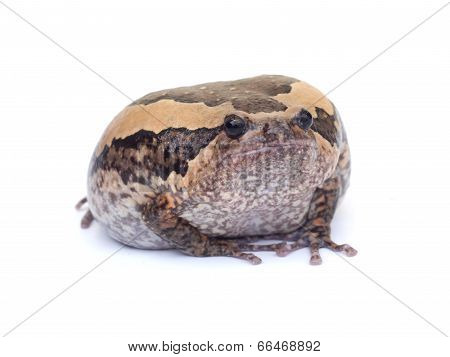 Bullfrog on white background