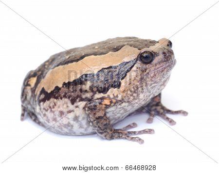 Bullfrog on white background