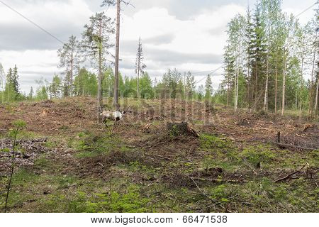 Reindeer In A Deforestation Area Grazing Near A Stump