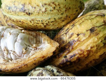 Closeup Of Cacao Fruits