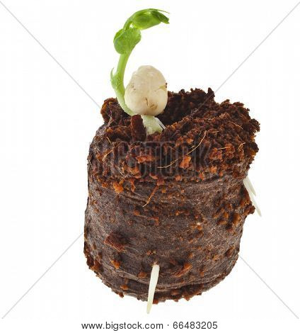 Pea Seedlings in peat compressed tablet pot isolated on white background