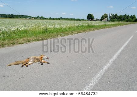 Automobile Killed Dead Fox Animal Lay On Road