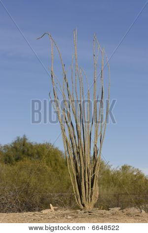 Cacto Ocotillo de Arizona